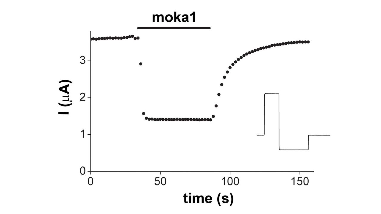 mokatoxin-1, designer toxin for Kv1.3 potassium K+ channel